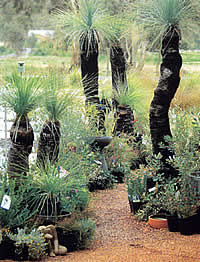 Nursery Grass Trees
